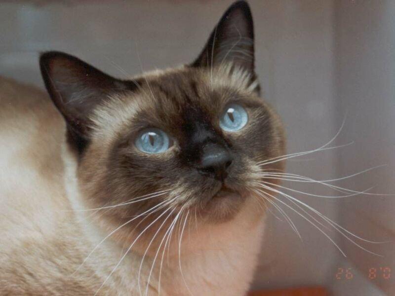 el gato azul com pe: